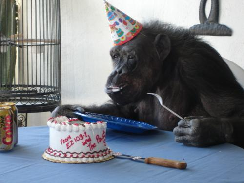 http://altheforce.files.wordpress.com/2007/08/cheeta_enjoying_her_birthday_cake-large-msg-114464211537-2.jpg
